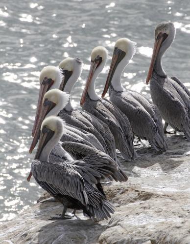 Piotr Zimniak - Seven pelicans
