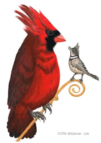 Justyna Brzozowska - Northern cardinal