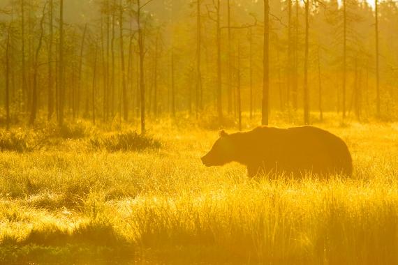 Marcin Dobas - Golden bear