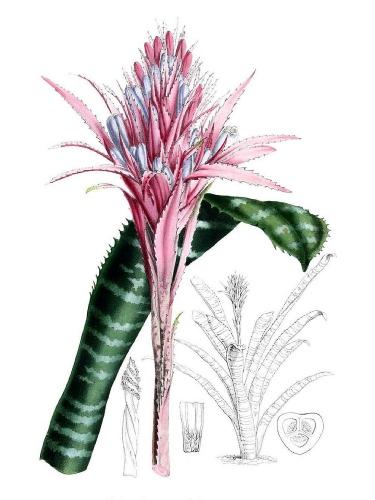 Bilbergia kwiat,  Mary E. Eaton