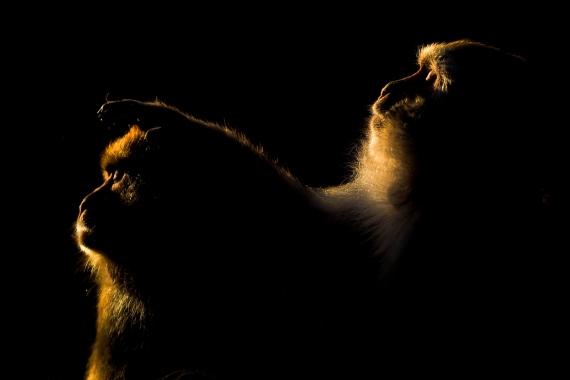 Marcin Dobas - Black macaque