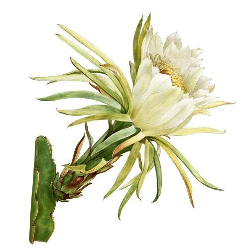 Kaktus Hylocereus,  Mary E. Eaton
