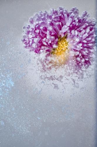 Małgorzata Marczuk - Ice daisy