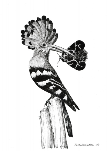 Justyna Brzozowska - Hoopoe and butterfly