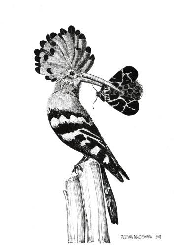 Justyna Brzozowska - Wiedehopf und Schmetterling