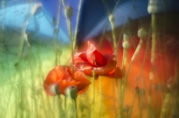 Małgorzata Marczuk - Field poppies
