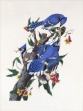 Birds: Blue Jay