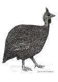 Guinea fowl - a dinosaur's daughter - Justyna Brzozowska