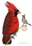 Northern cardinal - Justyna Brzozowska