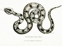 Wąż BOA