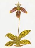Orchid - Paphiopedilum purpuratum