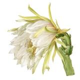 Cactus Hylocereus,  Mary E. Eaton