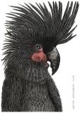 Palm cockatoo - Justyna Brzozowska