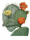 Blooming prickly pear, Mary Emily Eaton