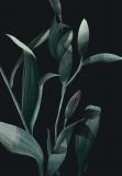 Lilies Dark - Agata Wierzbicka