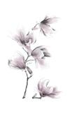 Pencil Flowers. Magnolie - Małgorzata Goczewska