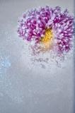 Ice daisy - Małgorzata Marczuk