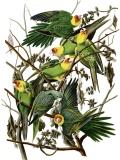 Parrot - Carolina parakeet