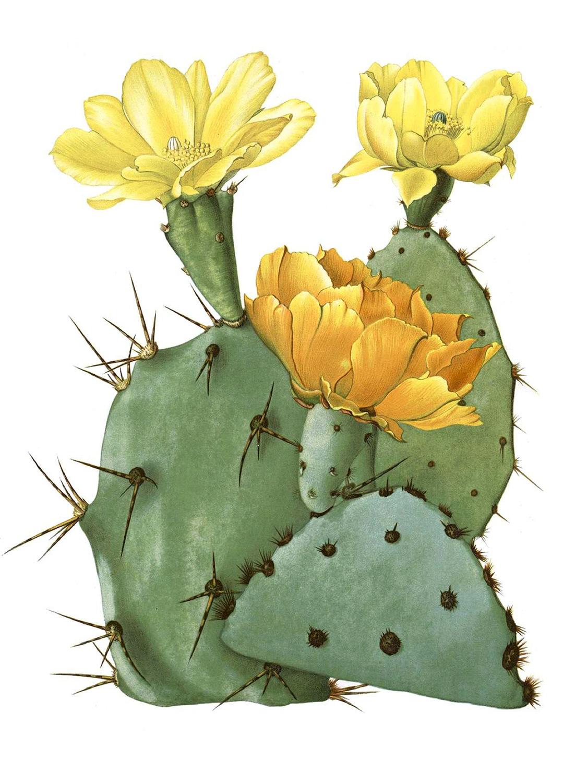 Plakat Botaniczny - kaktus