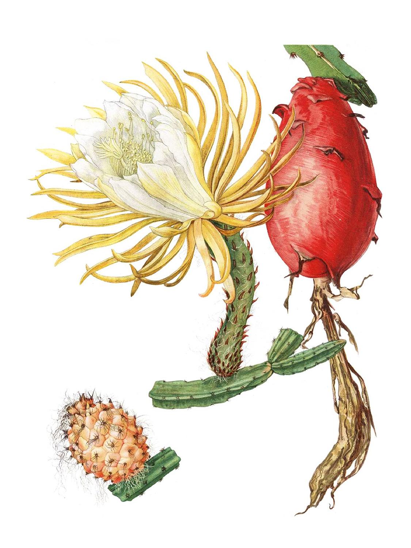 plakat botaniczny, kaktus