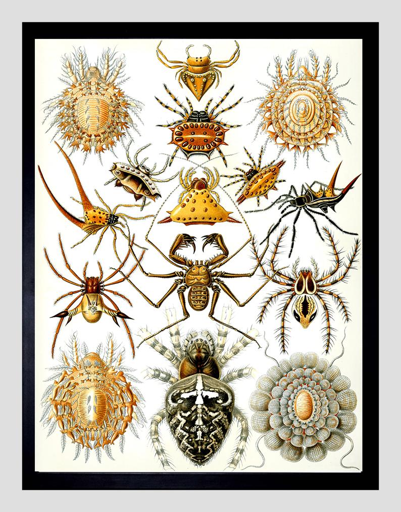 pająki ilustracja botaniczna