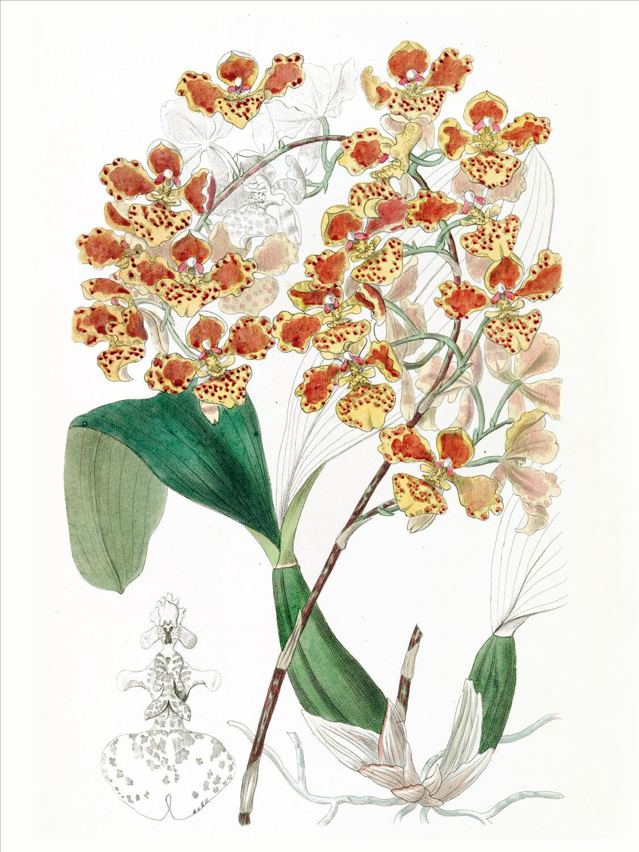kwiaty ilustracja botaniczna
