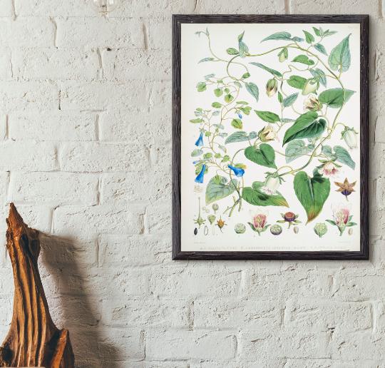 Magnolia ilustracja botaniczna